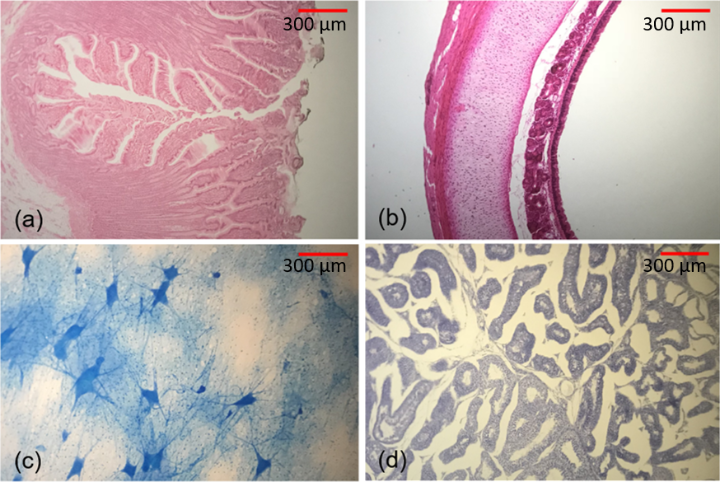 Mammalian samples, recorded with the OneScope and an Apple iPhone 7: small intestine (a), oesophagus (b), nerve cells (c), testes (d).